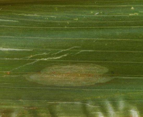 Северен листен пригор (Setosphaeria turcica)