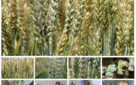 Болестта Твърда главня се пренася по време на жътвата посредством спорите освободени при разрушаването на болните семена