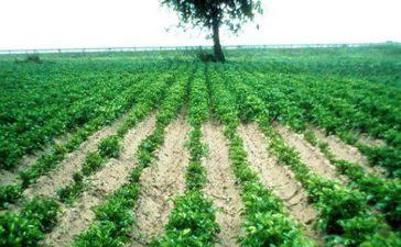 Икономически най-опасните паразитни вредители по картофите са картофените цистообразуващи нематоди
