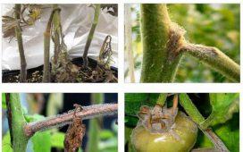 Благоприятни условия за развитието на Сивото гниене са високата влажност и недобро проветряване на растенията