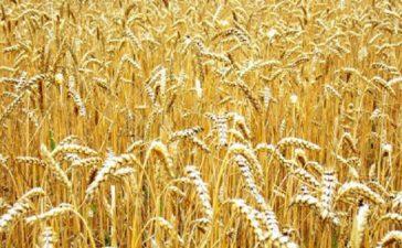 По време на вегетацията житните култури се нападат от редица болести и неприятели