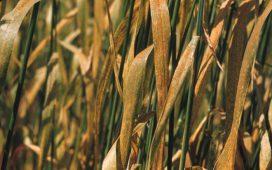 Жълтата ръжда напада листата на пшеницата и другите житни култури