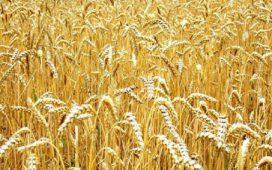 Обработка на почвата при зимните зърнено-житни култури
