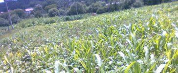 Хит сред фермерите е фуражния грах