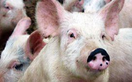 Един тон свинско месо конфискуванo на ГКПП Кулата