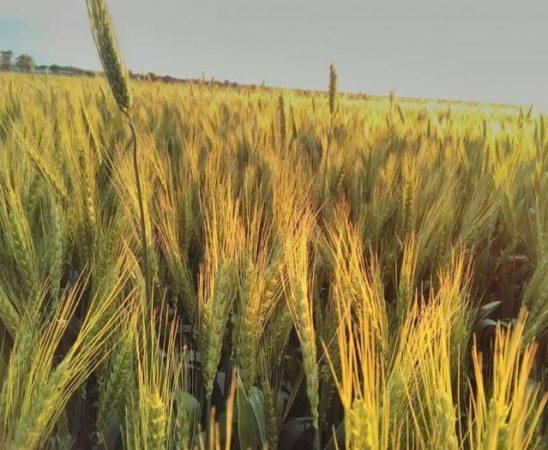 Дъждовният месец май тази година създава предпоставки за високи добиви при житните култури