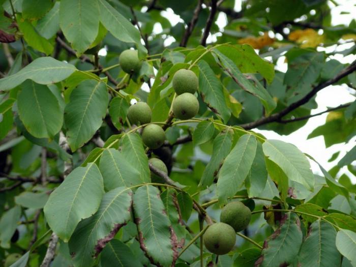 Лошото време това лято е ошушкало почти напълно ореховите дървета