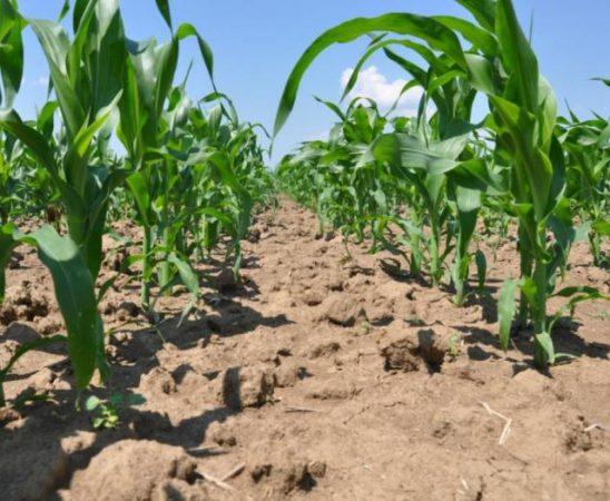 торене и грижи през вегeтацията при отглеждане на царевица
