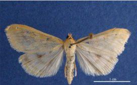 Царевичният стъблопробивач е пеперуда със светлокафяв до бледожълт цвят