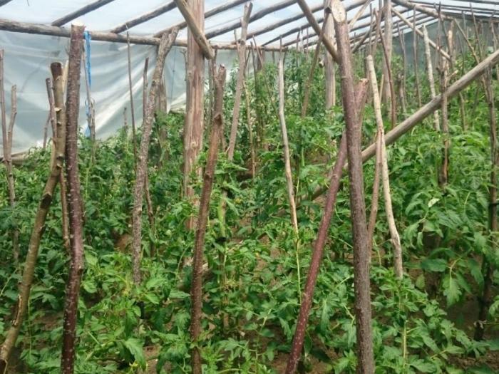 Производителите на оранжерийни зеленчуци ще получат по 891