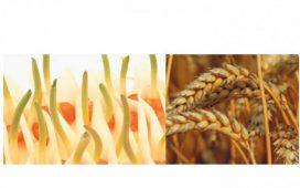 През последните години голяма част от иновациите в Синджента са насочени именно към препаратите за третиране на семен