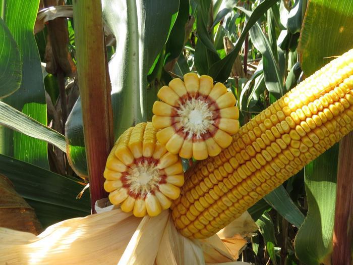 Заради липсата на валежи земеделските производители не постигнаха очакваните добиви