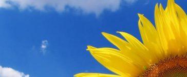 Националната служба по зърното представи окончателните резултати от окачествяването на слънчогледа