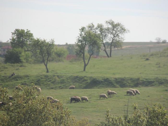 De minimis по 7 лева на овца майка и по 100 лева на млечна крава ще получат животновъди