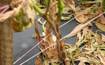 Описание и борба на болестта По разсада причинява сечене и загиване на младите растения. Най-честата форма на болеста е гниенето на коренит