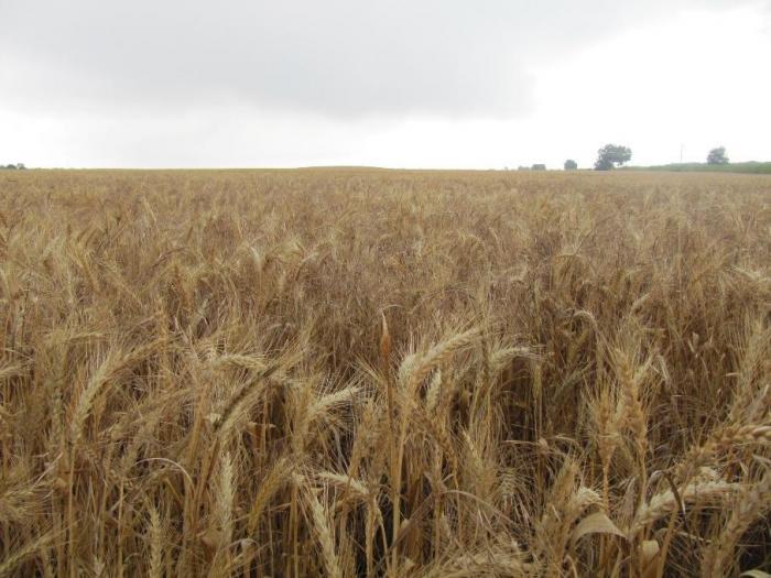 Внос и износ на пшеница - 99 % от доставките са от ЕС