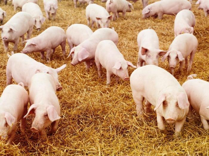 Имунно  профилактичната програма за предпазване на животните  е изпълнена на 50%
