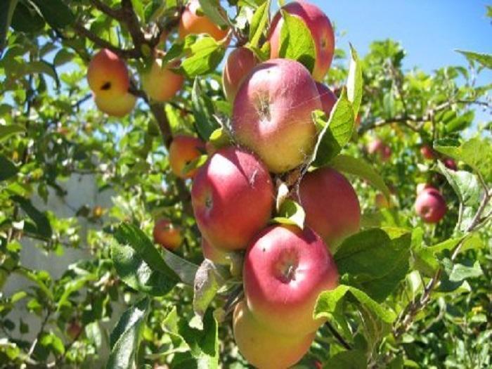 Фермерите в Полша за пръв път ще съберат над 4 млн. тона ябълки