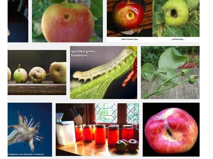 Ябълков плодов червей