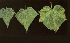 Описание и борба на болестта Краставична мозайка по пипера. Първите признаци се появяват по връхните листа и разклоненията. Листата от гор