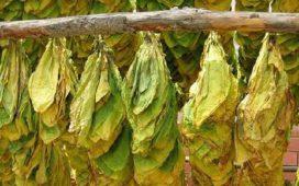 Тютюнопроизводителите ще получат субсидиите в началото на 2012 г.