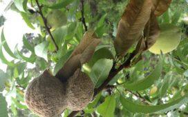 По младите завръзи се развива локално кафяво гниене