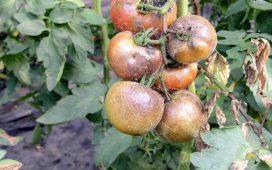 Картофената мана предизвиква гниене по листата