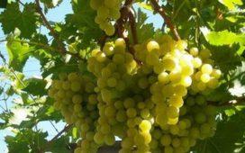 Изкупните цени на гроздето за реколта 2012 ще са около 60-80 стотинки за килограм за Мерло и за Каберне.