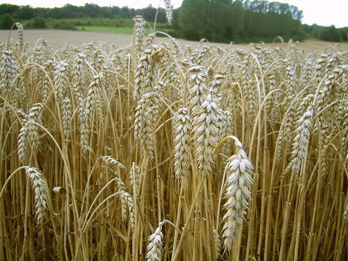 Осигурен е зърненият баланс на страната