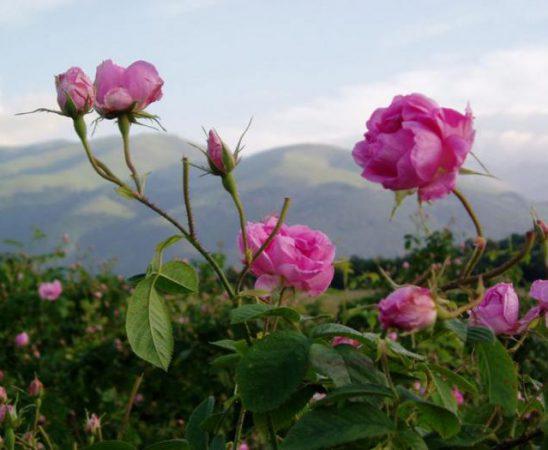 Българска розова градина ще цъфти във Франция