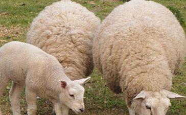 VІ-та Есенна изложба на Бели и Вакли Маришки овце - 22 октомври 2011