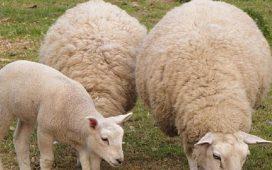5 млн. лв. компенасация за високите цени на горивата ще бъдат изплатени на овцевъдите