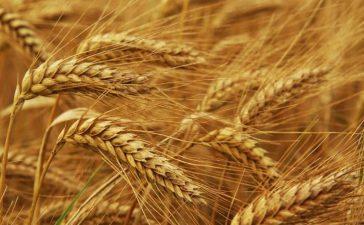 Среден добив на пшеницата е  429 кг/дка