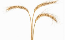 Особености и характеристики на Пшеница сорт ИВЕТА