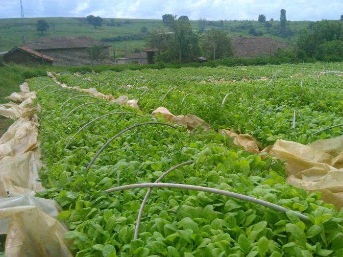 Производството на тютюн на територията на страната ще се извършва единствено и само от регистрирани лица