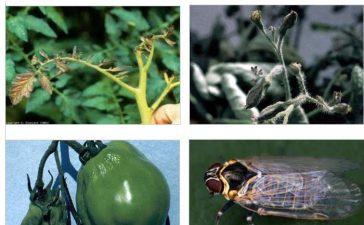 Борбата е насочена към преносителя на болестта – цикадата H. obsoletus