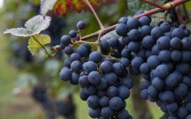 """""""Нерегламентиран внос на винено грозде за преработка като краен продукт вино не влиза и няма да влезе в България"""""""