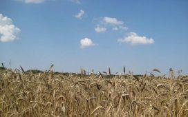 Ръководство за ИНТЕГРИРАНА БОРБА с болестите плевелите и неприятелите при пшеница