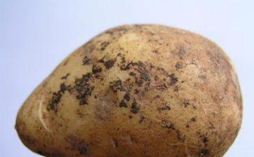 Борба със Струпясването по картофите
