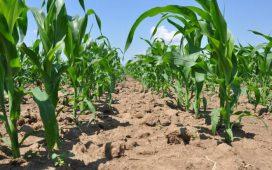 Нови хибриди Слънчоглед и Царевица и продукти за растителна защита от Syngenta през 2015