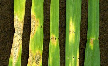 При ран листен пригор петната по листата на пшеницата са първоначално сиво-зелени