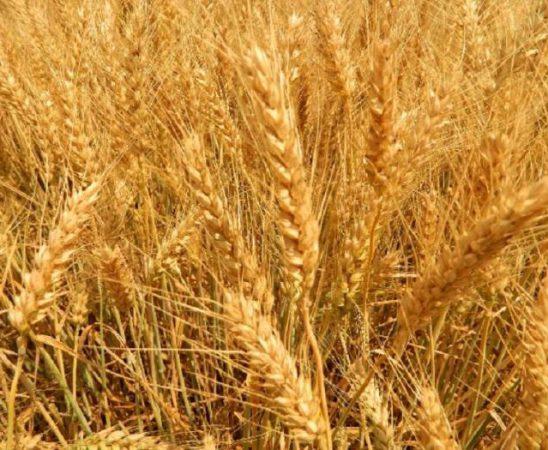 Тази година българските земеделски производители заложили на сортовете пшеница на Синджента отново постигат върхови добиви!
