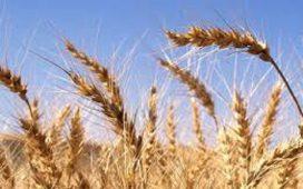 Новости в борбата с плевелите при царевицата