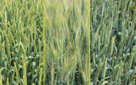 Основни правила за формиране на сортова структура при пшеницата