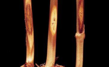 Борба с Базичното гниене (Паразитно полягане) по пшеницата