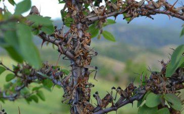 Приключи пръскането на засегнатите села в общините Ардино и Черноочене. В момента се третират нападнатите села в община Кърджали.