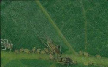 Орехова листна въшка