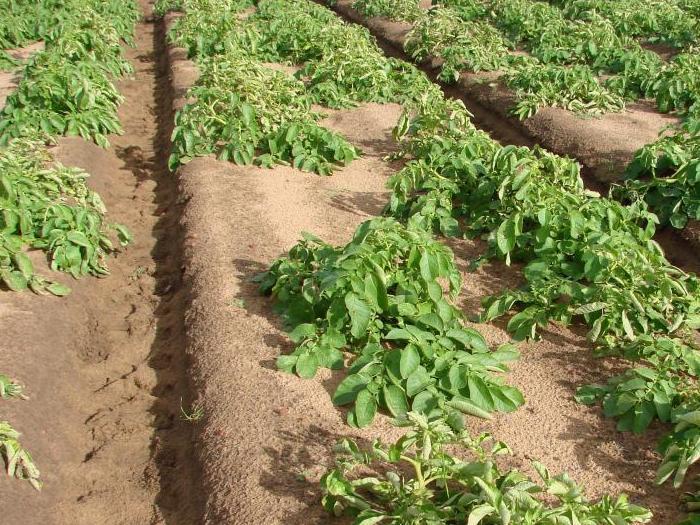 Ръст от 18% в производството на картофи в страните от Северозападна Европа