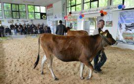 20 от елитните говеда дефилираха пред международно жури.