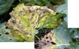 Причинител на Сухо стъблено гниене по зелето е Leptosphaeria macularia ( Desm. ) Cesati & de Notaris / Phoma lingam (Tode) Desm.